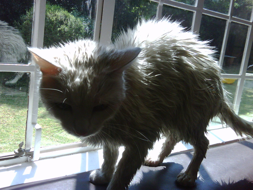 When was the last time You tried to wash your Kitty? Unhappy Cats.